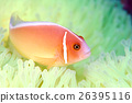 小丑魚 熱帶魚 南國 26395116