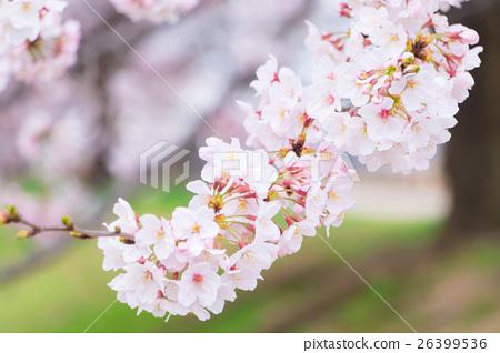 Sakura Sameyoshi no Sakura Closeup closeup copy space 26399536