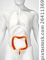 3D illustration of Large Intestine. 26411369