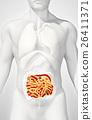 3D illustration of Small Intestine. 26411371