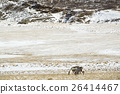 Two reindeers in Iceland 26414467