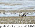 Herd of reindeer in Iceland 26414469
