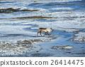 Reindeer in Iceland 26414475