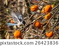 灰喜鵲 野生鳥類 野鳥 26423836