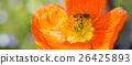 Bee (Apis) on Ice Poppy (Papaver nudicaule) Flower 26425893