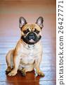 Dog French Bulldog sitting on floor indoor. 26427771