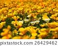 california, poppy, bloom 26429462