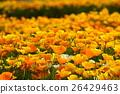 california, poppy, bloom 26429463