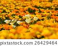 california, poppy, bloom 26429464