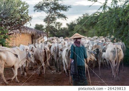 Local farmer and a herd of cattles, Myanmar 26429813