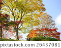 maple, yellow, leafe 26437081
