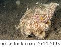 coconut octopus underwater portrait hiding in sand 26442095