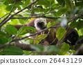 lemur, eulemur, albifrons 26443129
