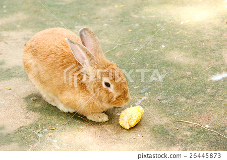 rabbits   eating  rabbit  food   26445873