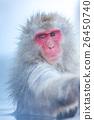 猴子 雪 猕猴 26450740