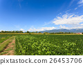 Agriculture, field of soybean 26453706