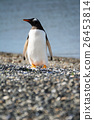 Portrait to Papua penguin on the gravel  26453814