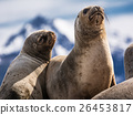 Sea lions on isla in  beagle channel near Ushuaia  26453817