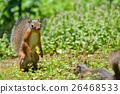 日本松鼠 松鼠 站立姿势 26468533