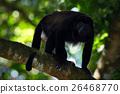 Mantled Howler Monkey Alouatta palliata in nature 26468770