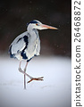 Grey Heron in white snow wind during cold winter 26468872