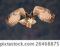 Eurasian Eagle Owl fly hunting during winter 26468875