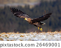 White-tailed Eagle, Haliaeetus albicilla, bird 26469001