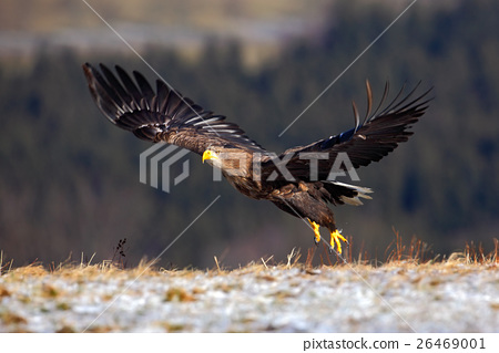 White-tailed Eagle, Haliaeetus albicilla, bird 26469001