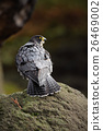 Peregrine Falcon, bird of prey  sitting on stone  26469002