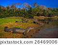 Caiman, Yacare Caiman, crocodiles in the river 26469006