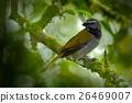 Exotic bird. Buff-throated Saltator, Saltator 26469007
