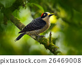 Woodpecker bird. Black-cheeked Woodpecker 26469008