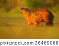 Capybara, Hydrochoerus hydrochaeris, biggest 26469068