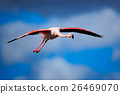 Greater Flamingo, Phoenicopterus ruber, flying 26469070