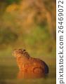 Capybara, Hydrochoerus hydrochaeris, mouse 26469072