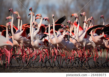 Flock of  Greater Flamingo, Phoenicopterus ruber 26469073