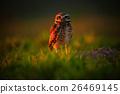 Burrowing Owl, Athene cunicularia, night bird 26469145