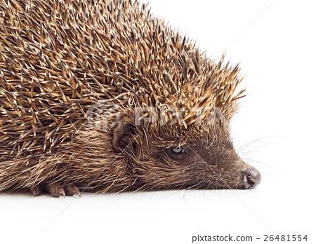 Hedgehog close-up 26481554