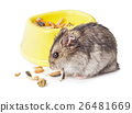 Mouse eating grain isolated 26481669
