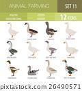 Poultry farming. Goose breeds icon set. 26490571
