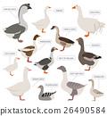 Poultry farming. Goose breeds icon set 26490584