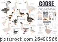 Poultry farming infographic template. Goose breed 26490586