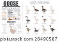 Poultry farming infographic template. Goose breed 26490587