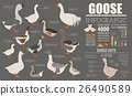 Poultry farming infographic template. Goose breed 26490589