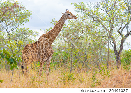 Giraffe profile in the bush 26491027