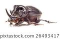 Rhinoceros Beetle isolated 26493417