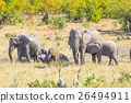 Herd of African Elephants playing with water 26494911