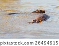 Hippos in the water, Kruger National Park 26494915