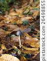 버섯, 갠, 해외 26498855