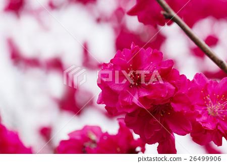 복숭아 꽃 봄 꽃 연하장 소재 26499906